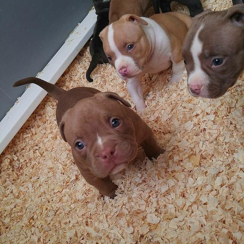 С первых же дней они выглядят такими очаровашками домашний питомец, животные, милота, питбуль, причина, собака, щенки