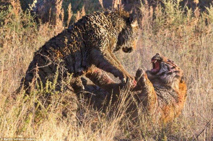 Битва хищников не на жизнь, а на смерть