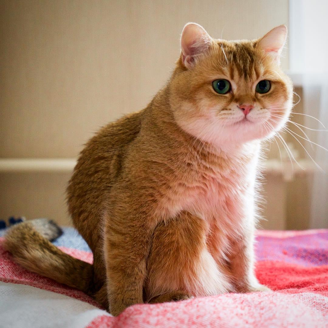 Какая порода у кота хосико