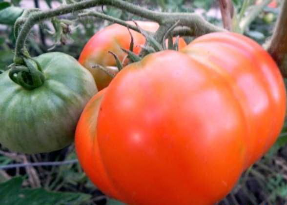 Самые крупные сорта томатов - до 4 кг