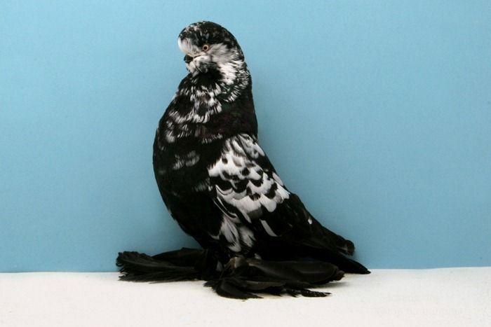 Подборка декоративных голубей