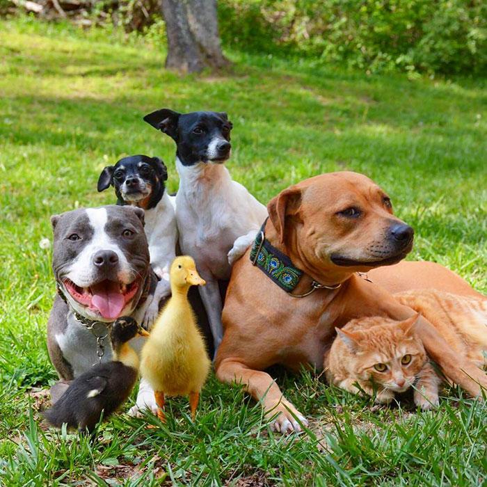 Собаки, кот и утки живущие под одной крышей