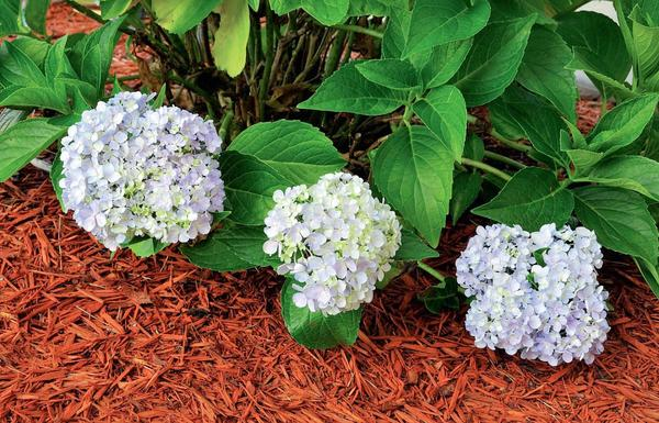 Укрытие из крашеной щепы станет и декоративным элементом сада. Важно, чтобы цвета и стиль мульчи и цветника гармонировали, поэтому не стоит покупать щепу кислотных оттенков.