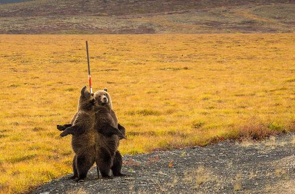 Медведи в Канаде показали себя во всей красе во время «танцев» у шеста