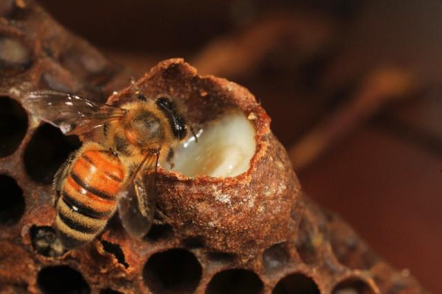 Применение маточного молочка пчел