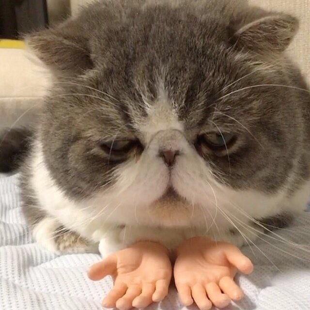 Отчаявшийся кот с кукольными ладошками