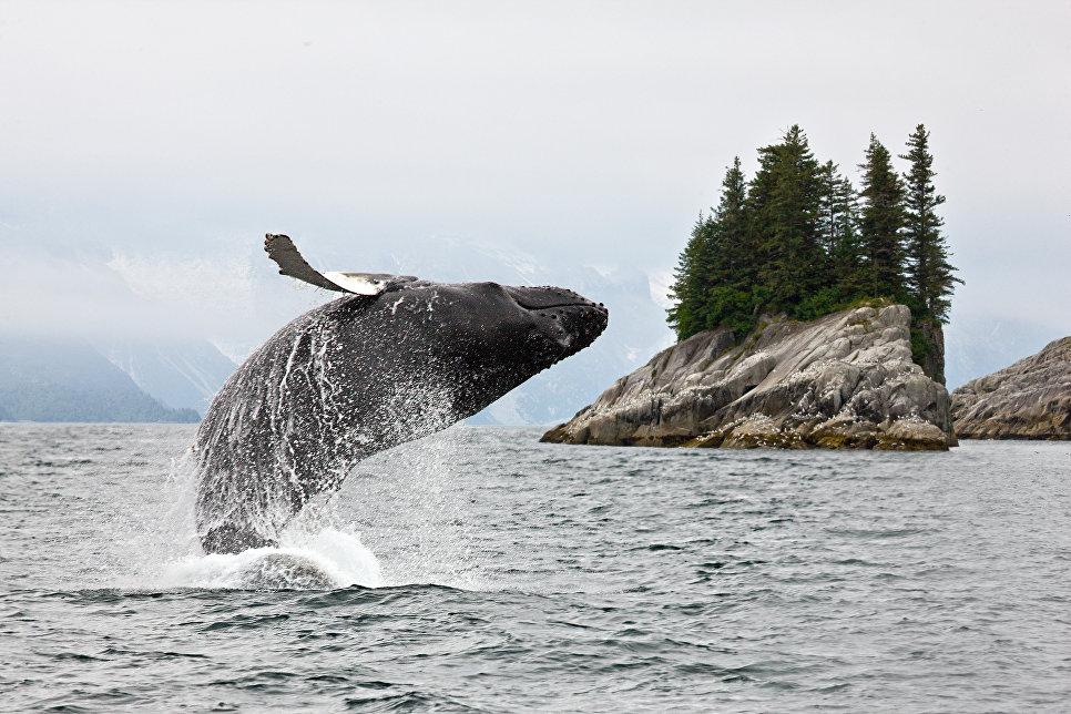 У берегов Камчатки ученые обнаружили редкое скопление горбатых китов