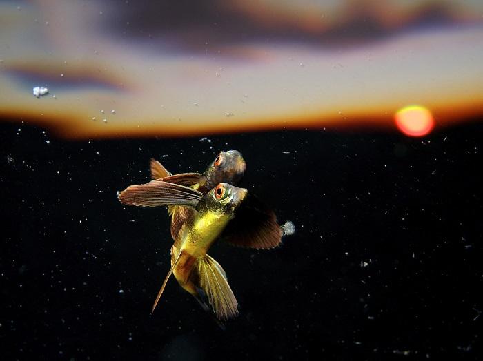 Летучая рыба. Фотограф: Эрик Мадея (Eric Madeja), Швейцария.