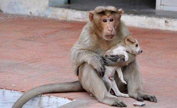 Чужих детей не бывает! Обезьяна «усыновила» брошенного щенка и ухаживает за ним как настоящая мама
