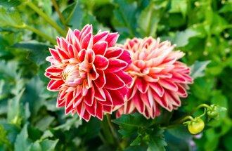 Как выращивать георгины из семян и клубней – специалисты делятся секретами