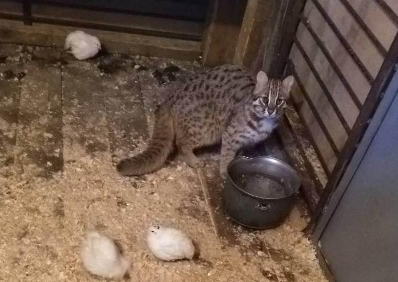 В Приморье выходили дикого лесного кота, подкинутого браконьерами