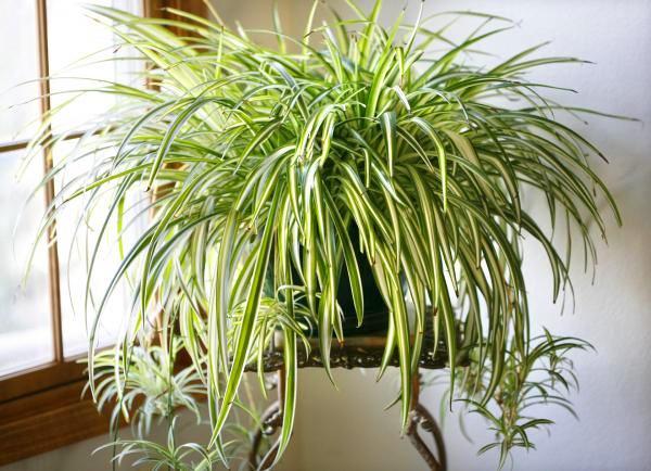Горшечное растения хлорофитум на балконе