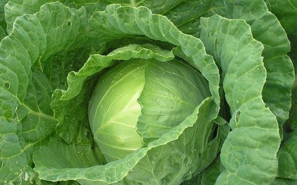 От кашля - лист капусты на грудь