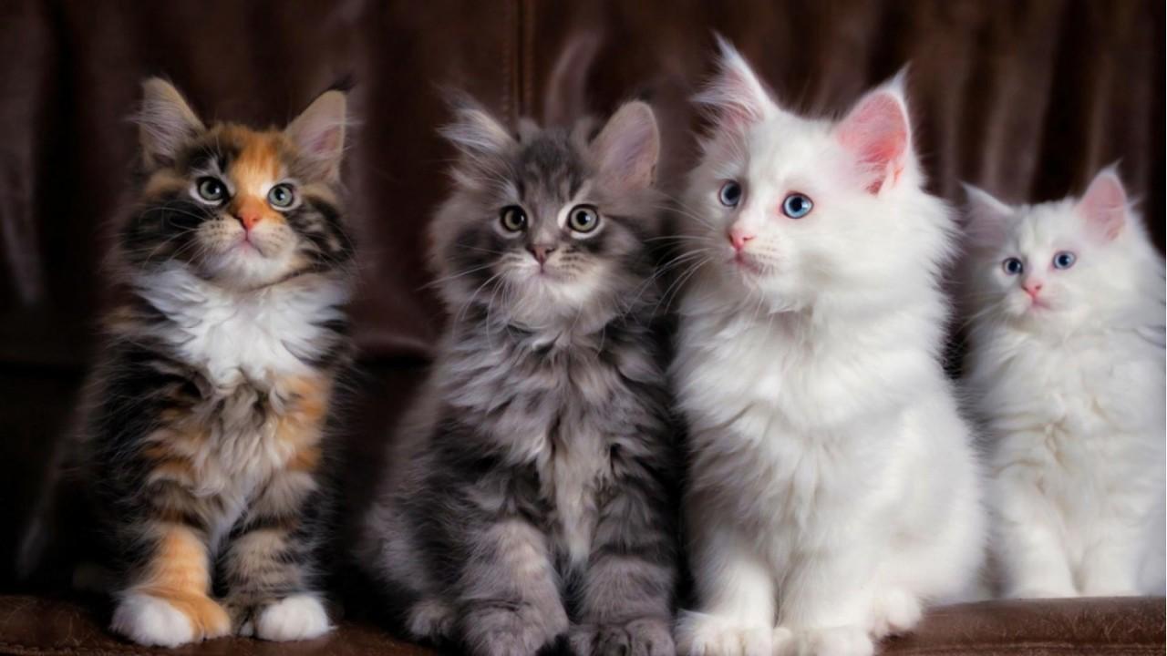 Окрас кота : Добрые и злые предзнаменования