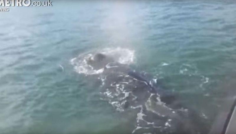 Запутавшийся в сетях кит подплыл к людям в надежде на спасение