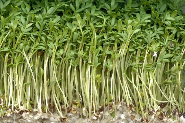 Салат можно сеять все лето.