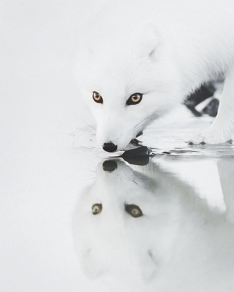 1. Полярный лис виды, исландия, красота, фото