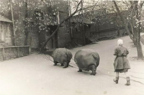 Выгул бегемотов в зоопарке, Москва, 1950–е. история, события, фото