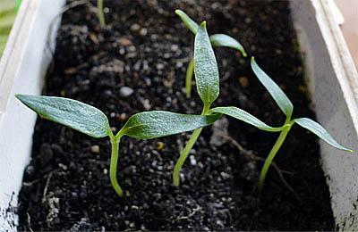 Пора выращивать рассаду перц…