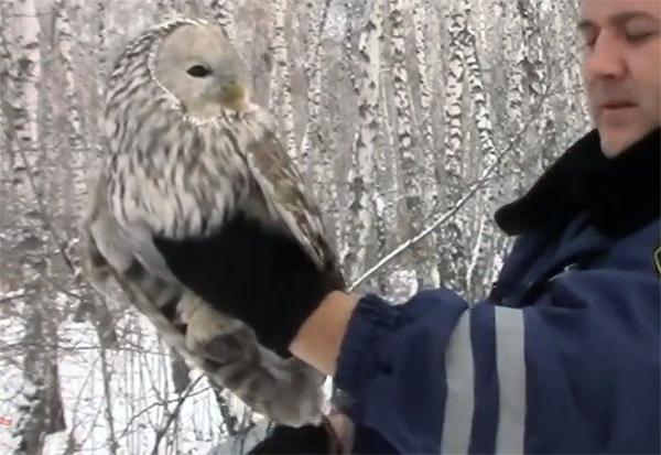 В Красноярском крае дорожные полицейские спасли сову
