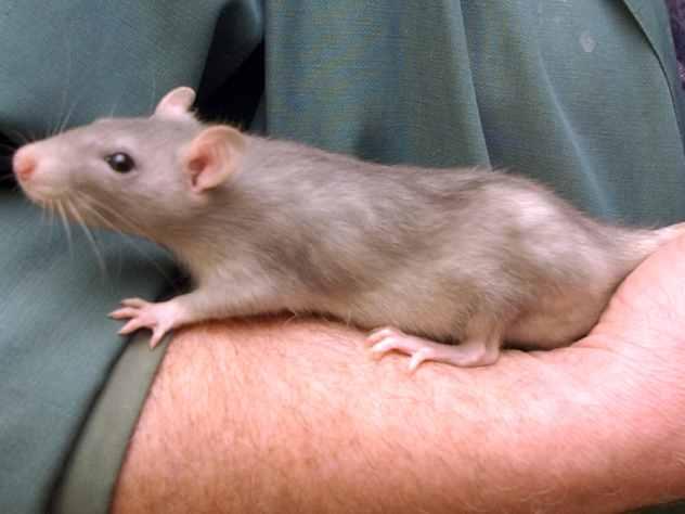 К жительнице Чебоксар в постель забралась крыса и укусила