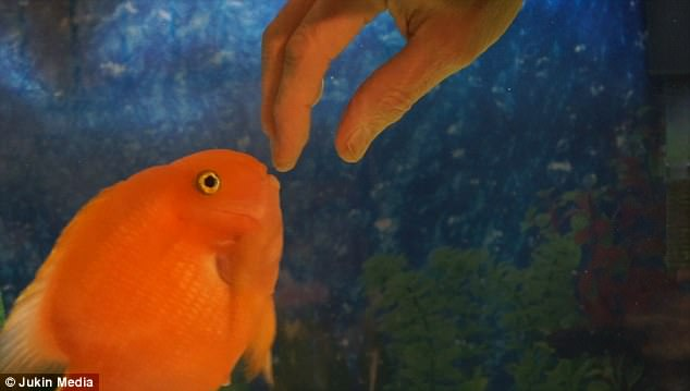 Почему эта аквариумная рыбка так любит ластиться к хозяину?