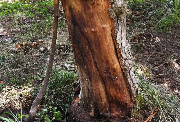 Как спасти кору плодового дерева?