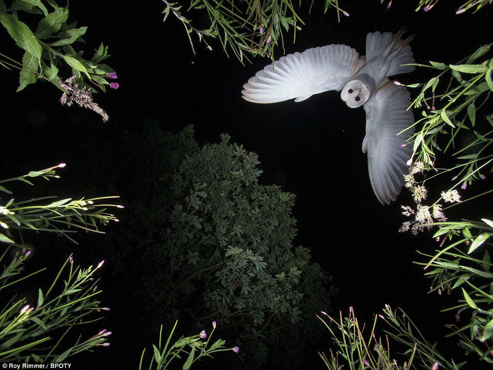 Floral flight: Barn Owl hovering by Roy Rimmer of Wigan, Lancashire. POTY helps raise funds for the BTO, so far having raised over £5,500 from entry fees alone. The money has been used to help support the BTO's young birders programme, aimed at engaging a younger generation of naturalists and ornithologists