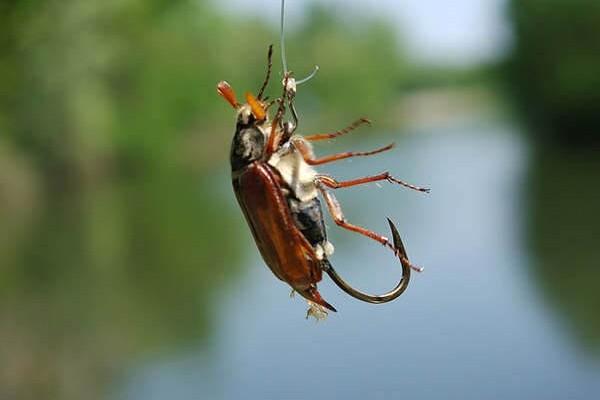 Ловля рыбы на майского жука