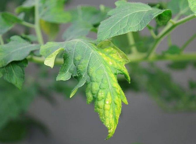 езды снегоходе листья помидор в гидропонике желтеют правильно