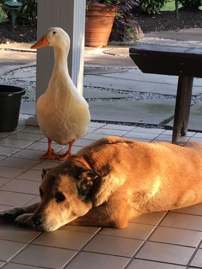Утка спасла пса от тоски