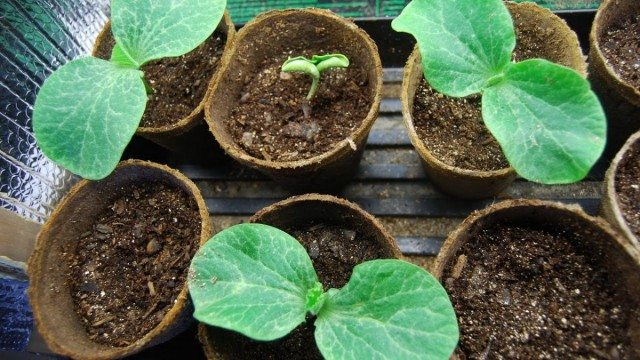 Выращиваем рассаду тыквы по правилам