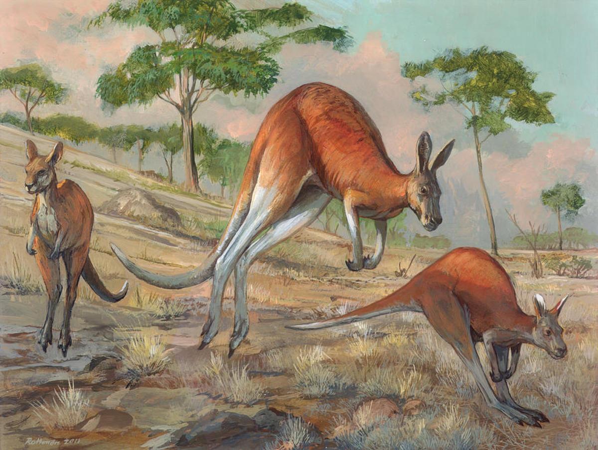 Когда кенгуру научились прыгать