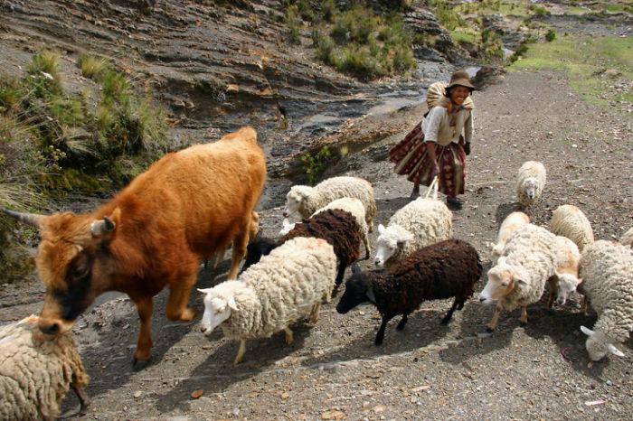 Местная жительница гонит стадо на пастбище.