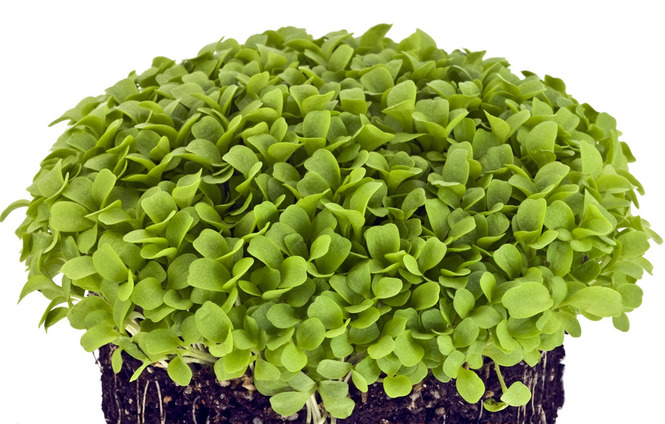 Модная тенденция - микрозелень: выращиваем на подоконнике
