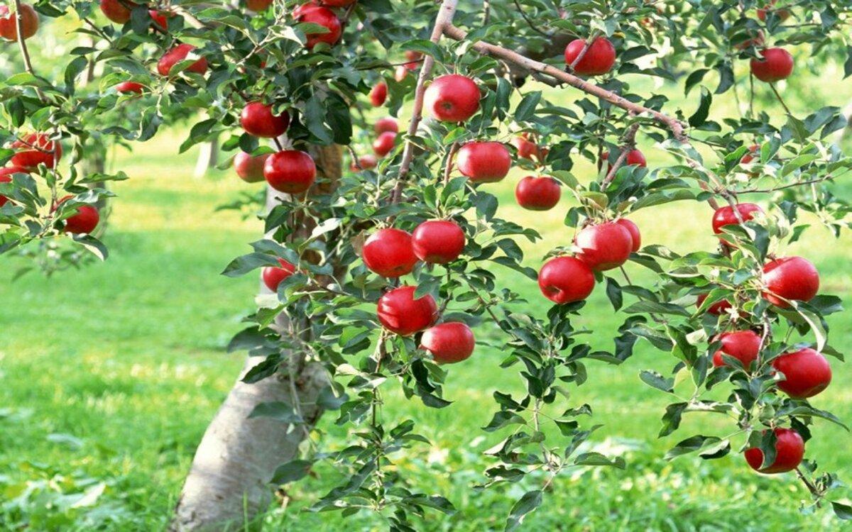 Разгадка, почему яблоня плод…