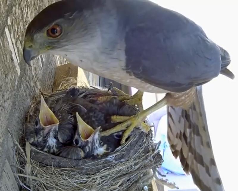 Во время прямой трансляция ястреб похитил птенцов зарянки из гнезда