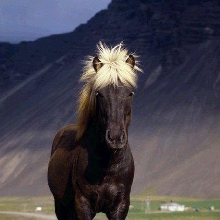 Фото лошади серебристо-вороной масти исландской породы