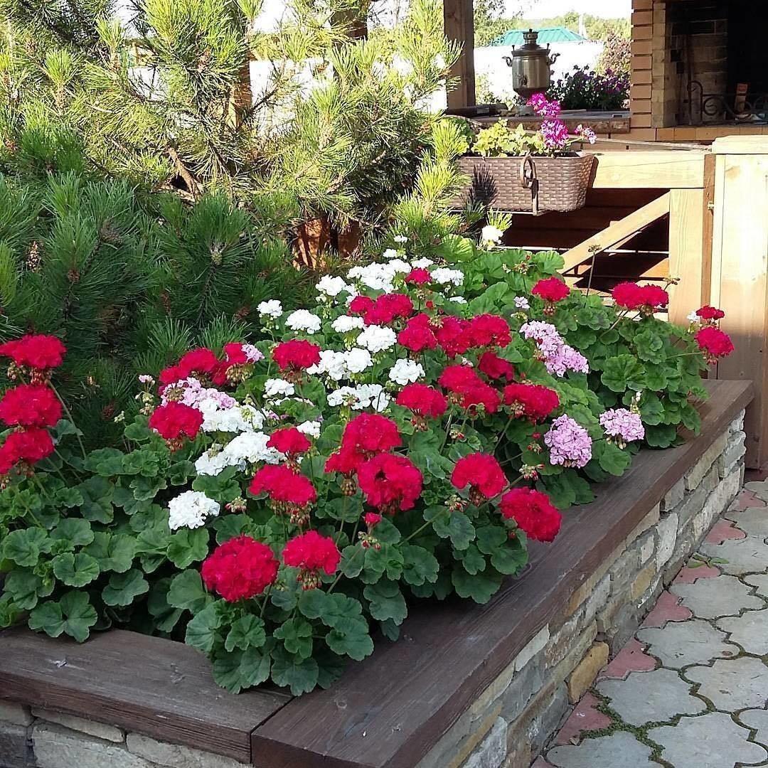 Вот почему герань – самое идеальное растение для цветника!