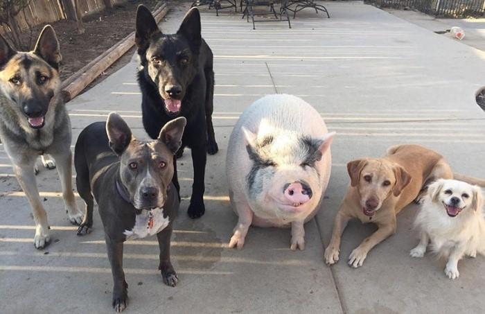 История поросёнка, который вырос с пятью псами и ведет себя совсем не по-свински