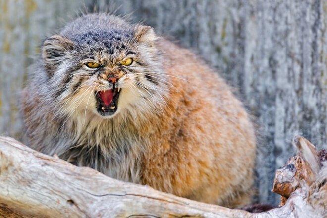 Кот загрыз троих грабителей из Озерска