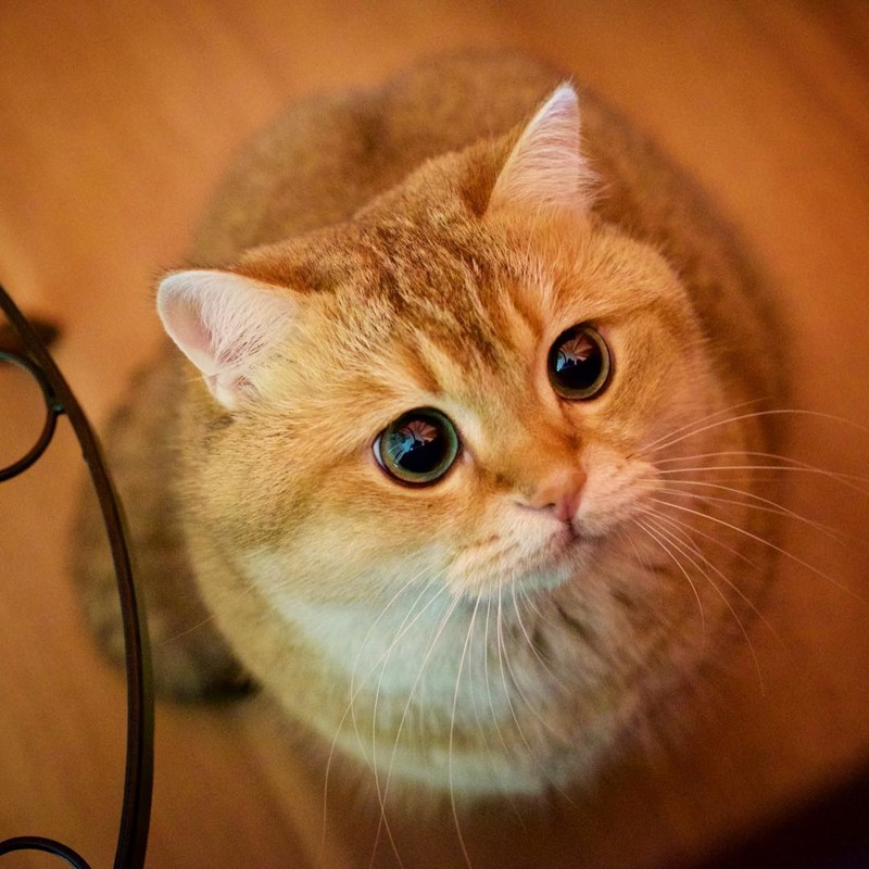 Хосико — настоящий Кот в сапогах из Шрека
