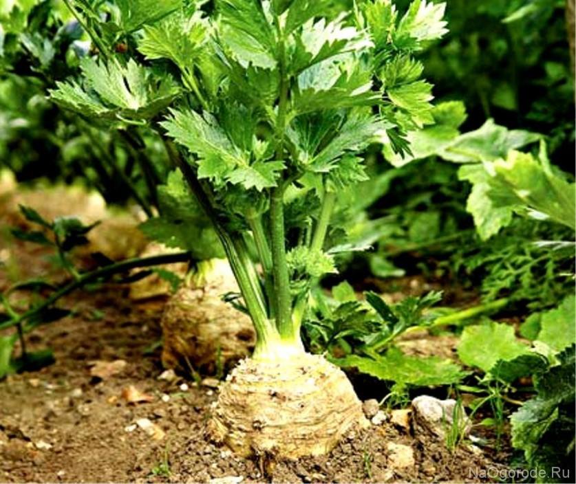 Сельдерей черешковый в сибири выращивание и уход 78