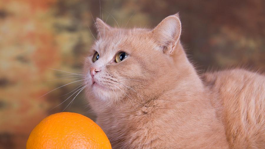 Апельсин от котов