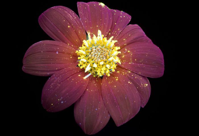Пыльца расыпалась по лепесткам золотым дождём.