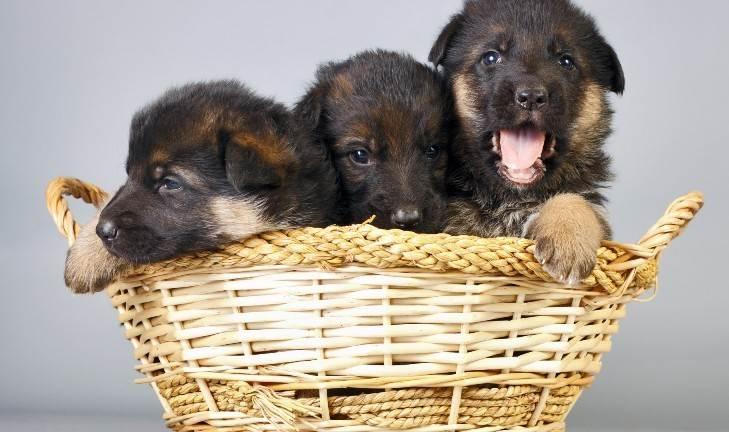 Картинки по запросу щенки в бельевой корзине