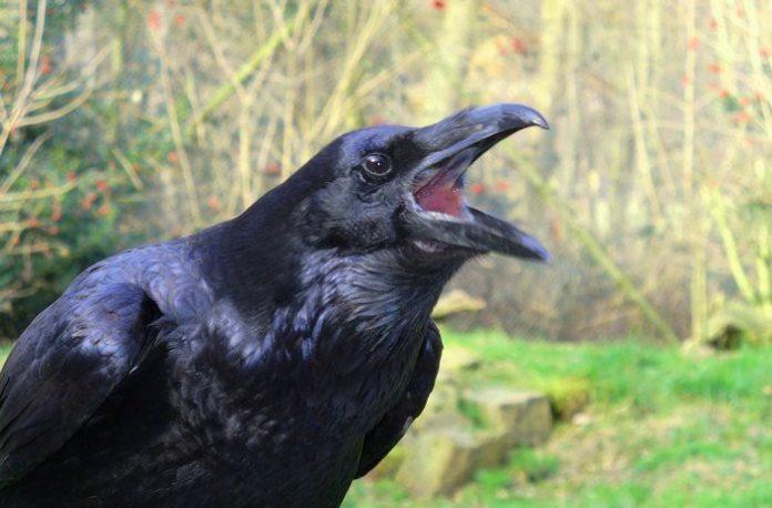 Вороны запоминают людей, которые их обманули