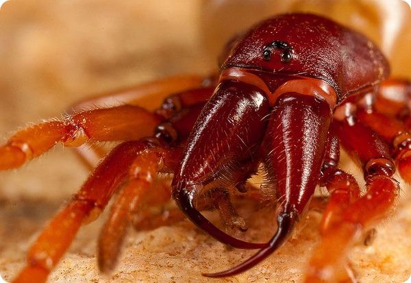 Трубковый паук