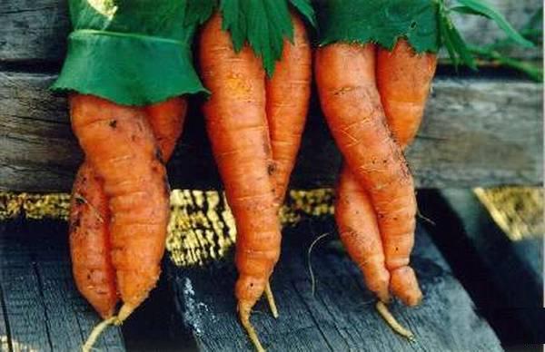 В Евросоюзе морковь считается фруктом!