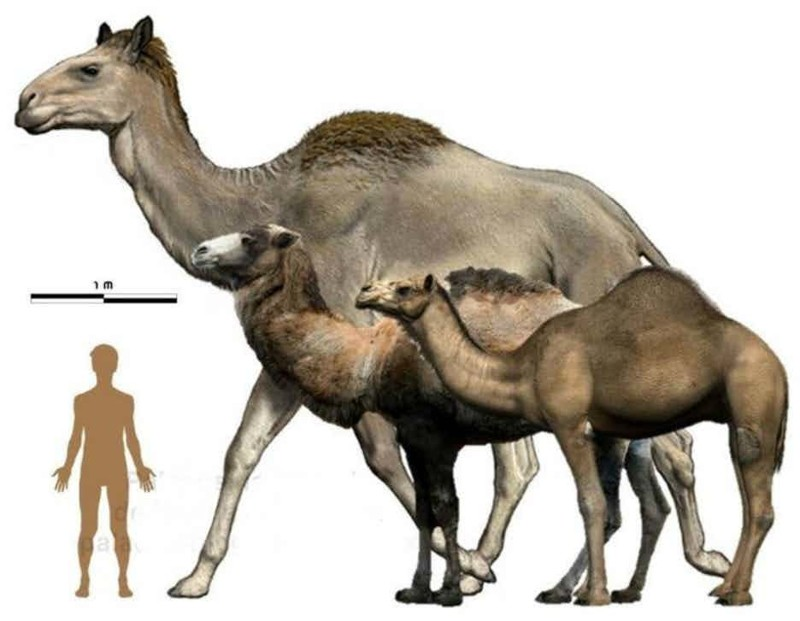 14. Сирийский верблюд гигант, животные, планета